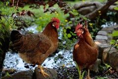 在农厂池塘旁边的布朗鸡 免版税库存图片