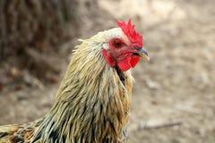 在农厂特写镜头的花梢鸡 免版税图库摄影