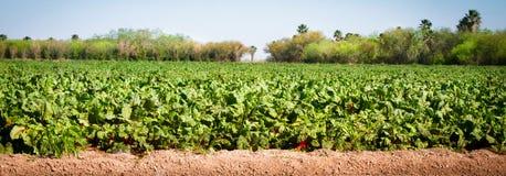 在农厂生长的丰富多样的庄稼 图库摄影