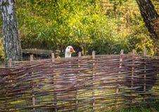 在农厂篱芭后的白色鹅 库存照片