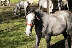 在农厂范围马之后 免版税库存照片