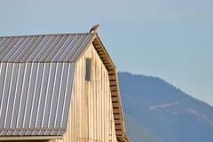 在农厂谷仓屋顶狩猎的成人鹰 图库摄影