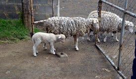 在农厂门的羊毛内衣的绵羊 免版税图库摄影