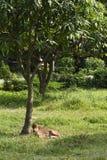 在农厂风景的小牛在绿草放松在树树荫下 库存照片