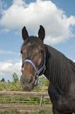 在农厂画象关闭的马 免版税库存图片