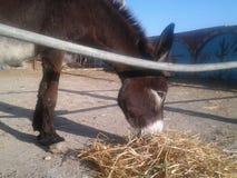 在农场吃动物的逗人喜爱的驴 免版税库存图片