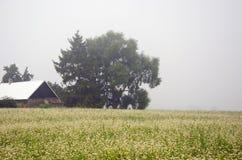在农场和早晨薄雾的荞麦领域 库存照片
