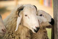 在农场哄骗哺养的绵羊,泰国 库存图片