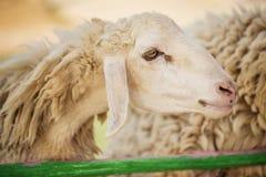 在农场哄骗哺养的绵羊,泰国 免版税库存照片