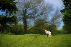在农场径赛服的羊羔在领域 免版税库存图片