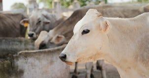 在农场牲畜的母牛在大农场乡下生活中 库存照片