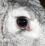 在农场的一只兔子` s眼睛 宏指令 库存图片