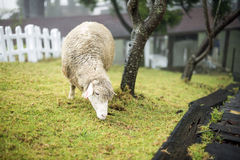 在农场的一只吃草的绵羊 图库摄影