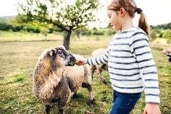 在农场的一只小女孩哺养的绵羊 免版税库存照片