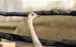 在农场的一只驼鸟 免版税库存照片