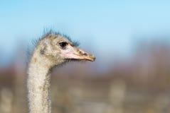 在农场的一只驼鸟 免版税库存图片