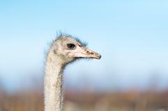 在农场的一只驼鸟 库存图片