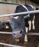在农场的一头母牛 接近的母牛牛奶店题头s 免版税库存图片