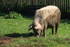 在农场的一头猪 免版税库存照片