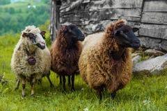 在农场的三只绵羊 免版税库存图片