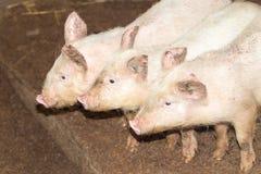 在农场的三头小的猪 免版税图库摄影