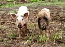 在农场的两个泥泞的小猪 库存照片