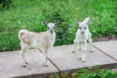 在农场的两只小的山羊 家畜的耕种 免版税库存照片