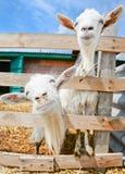 在农场的两只滑稽的山羊 库存图片