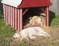 在农场的两条睡觉狗 库存图片