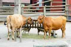 在农场的两头母牛 库存照片