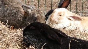 在农场的五颜六色的兔子 家畜在联络动物园里 4K 影视素材