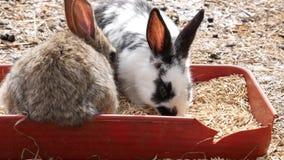 在农场的五颜六色的兔子 家畜在联络动物园里 4K 股票视频