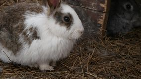 在农场的五颜六色的兔子 家畜在联络动物园里 4K 股票录像