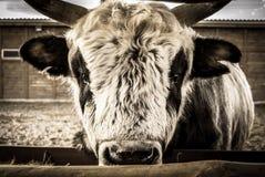 在农场的公牛 免版税库存照片