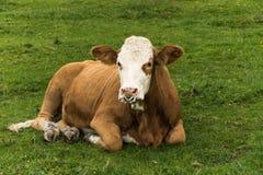 在农场的公牛 库存照片