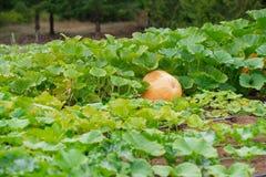 在农场的南瓜 免版税图库摄影