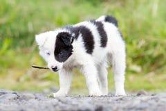 在农场的博德牧羊犬小狗,使用用一根小棍子 免版税库存图片
