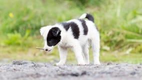 在农场的博德牧羊犬小狗,使用用一根小棍子 免版税图库摄影