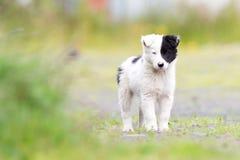 在农场的博德牧羊犬小狗 库存图片