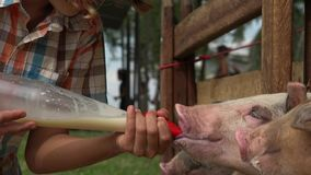 在农场的哺养的猪