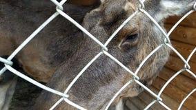 在农场的哺养的麋 股票视频