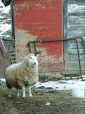 在农场的好奇绵羊 免版税图库摄影