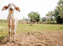 在农场的孤独的母牛夏时的 库存照片