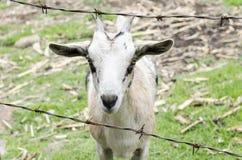 在农场的小山羊画象 免版税库存图片