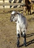 在农场的小山羊 免版税库存照片