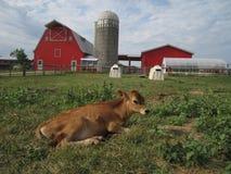 在农场的小牛 免版税图库摄影