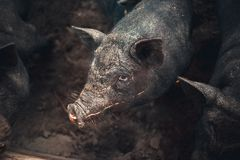 在农场的小的黑越南猪 免版税图库摄影