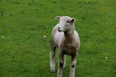 在农场的小的绵羊 免版税库存照片