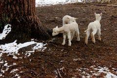 在农场的小羊羔 免版税库存照片