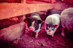 在农场的小越南猪 免版税库存照片